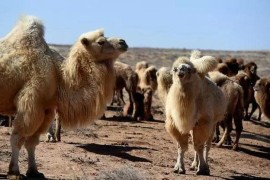 澳杀5000头骆驼不为人知的内情竟然因为这种资源实在太缺失!