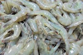 中国拒收1000个集装箱的印度虾果然检测出猫腻(图)!